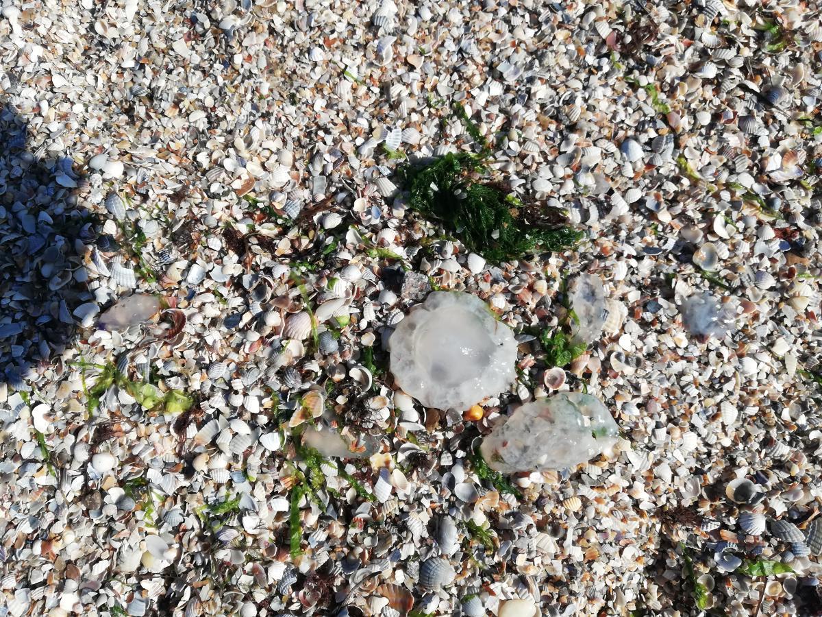 медузи азовське море